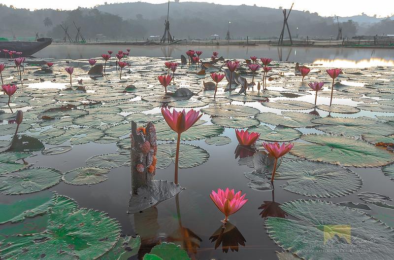 lotuseaters