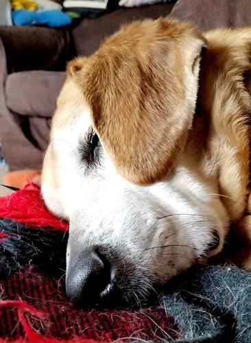 #seniordog #houndmix #adoptdontshop #sleepingdog #LapdogCreations @LapdogCreations