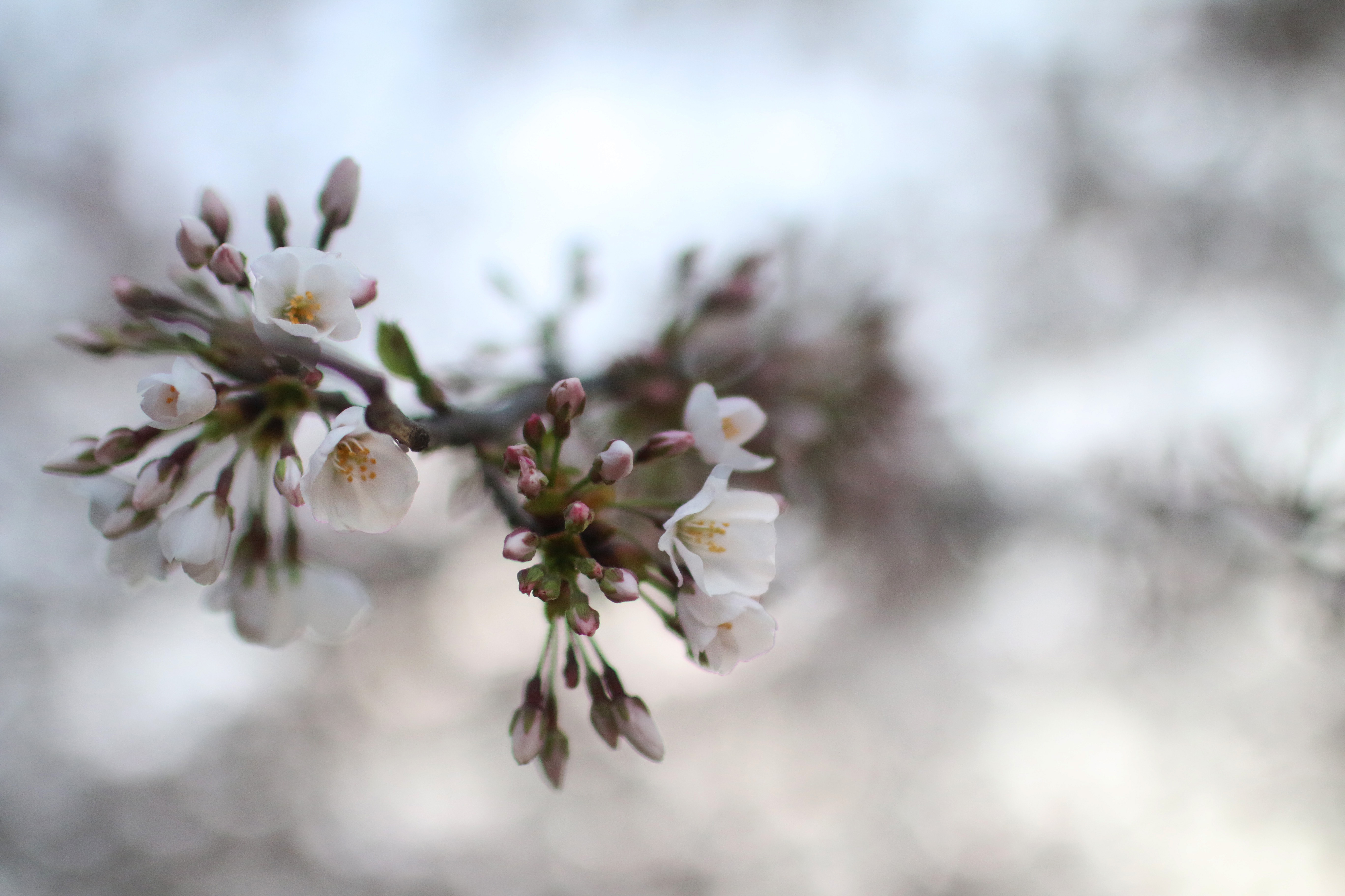 blossoms7
