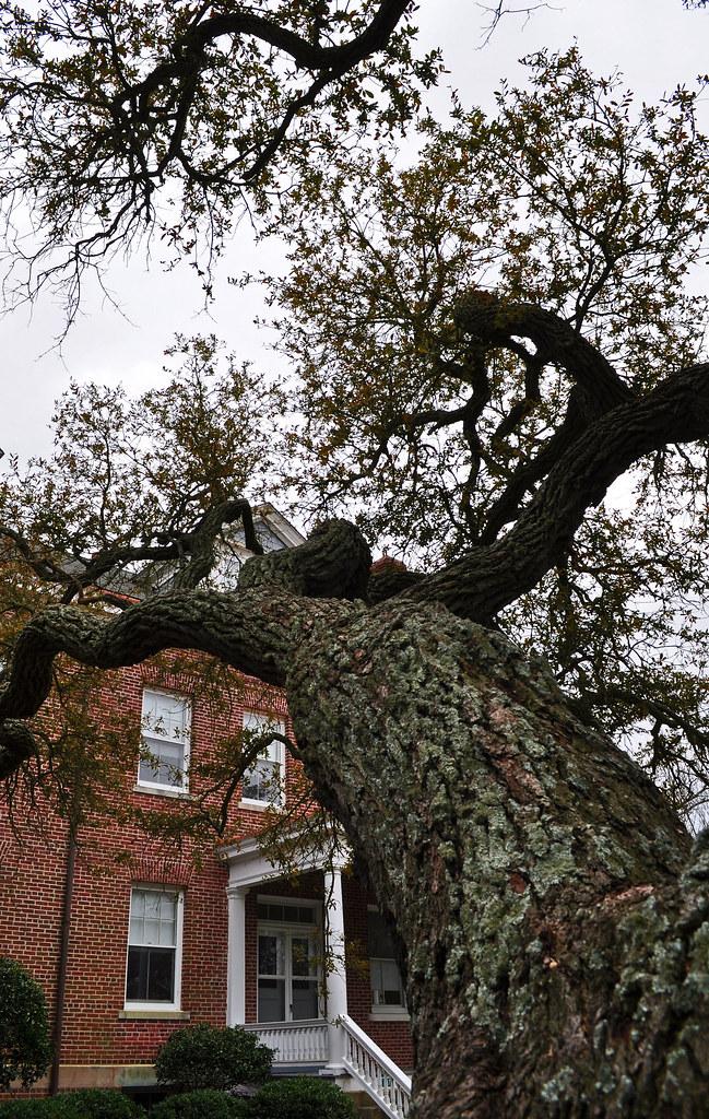 Fort Monroe, Live Oak (Quercus virginiana) (11)