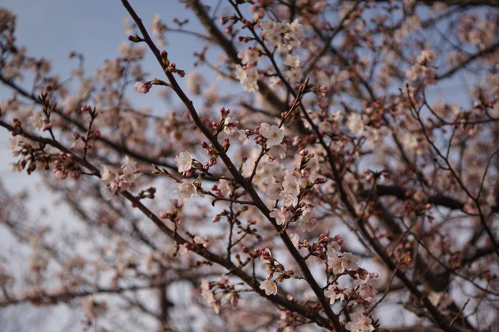 Cherry Blossoms x S-Planar x