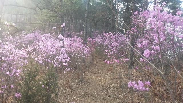 도장산 | 진달래 꽃길