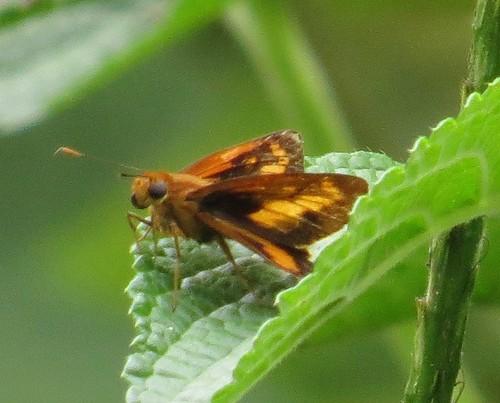 butterfly wings costarica skipper hesperiinae hesperiidae hesperiini richhoyer