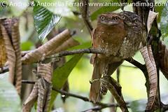 Sri Lankan frogmouth Batrachostomus moniliger