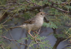 Rattling cisticola, Cisticola chiniana, at Marakele National Park, Limpopo, South Africa