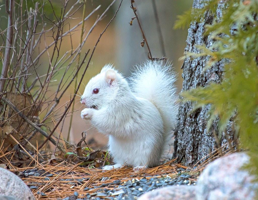 White Squirrel 1 Dec 2015 Tiny Beaches