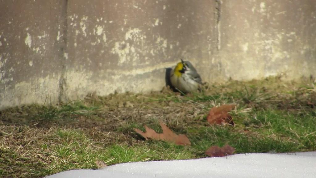 Yellow-throated Warbler YTWA (Bowdoin, ME)
