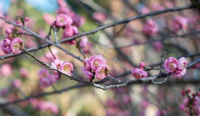 Prunus Mume at The Huntington
