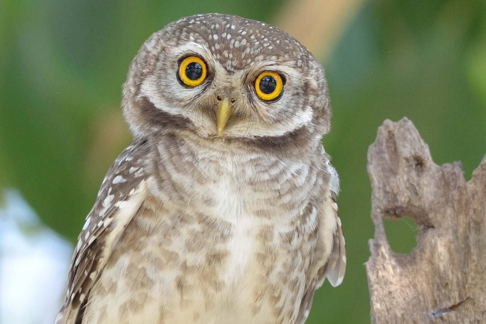 Spotted_Owlet_2977_O