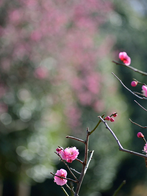 ウメ Plum blossoms