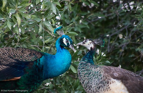 bird love animal canon zoo couple wildlife peacock qatar aldosari 7dmarkii zhunesh