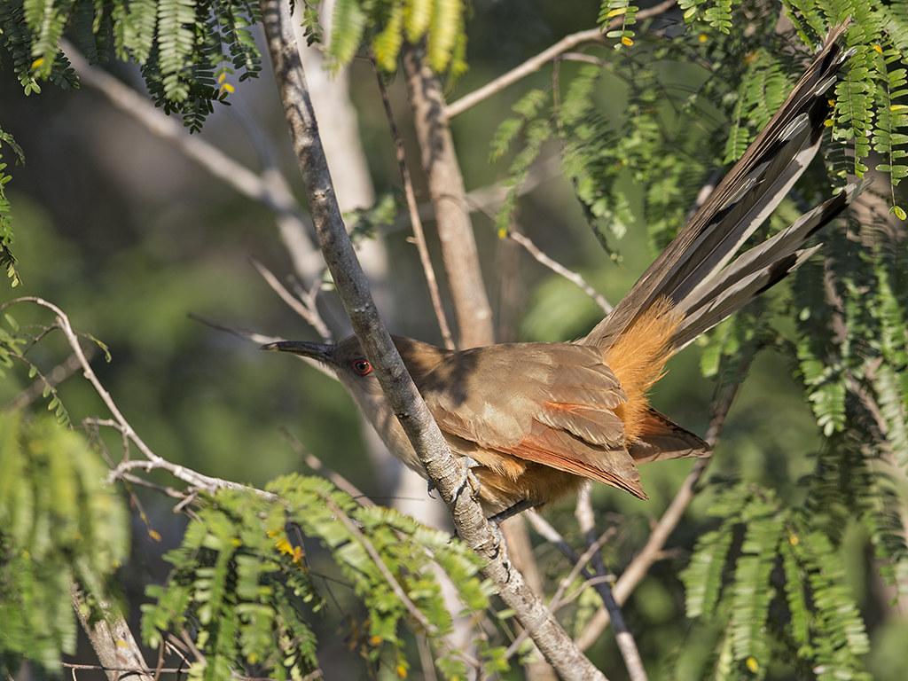 Great Lizzard Cuckoo