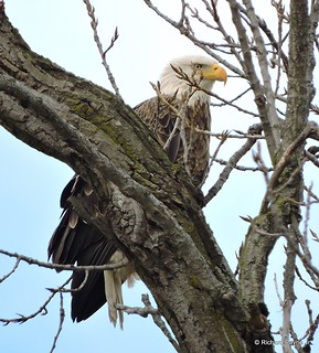 Adult Bald Eagle_N1374