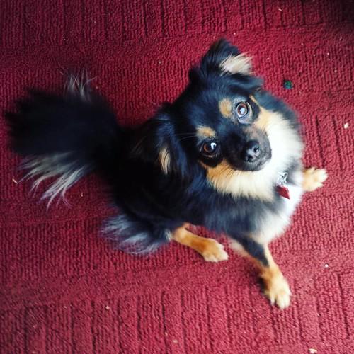 Pip #teacupwarg #dogsofinstagram #familydog #mutt #muttsofinstagram
