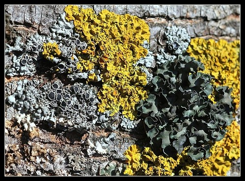 Parmelia acetabulum 25490658762_0a75927d94