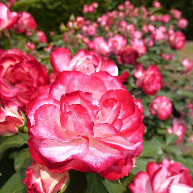 Photo:Rose, Jubile du Prince de Monaco, バラ, ジュビル デゥ プリンス ドゥ モナコ, By T.Kiya