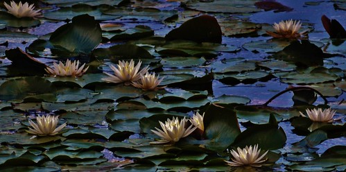 Water Lily Scene Of The Patuxent Research Refuge