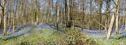 Panorama Bluebells in Shrawley Wood, Worcestershire, UK