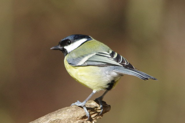 IMGP6286 Great Tit, Lackford Lakes, March 2016