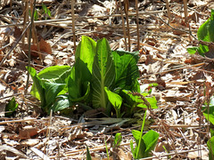sprouting skunk cabbage