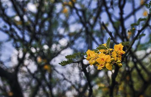 Florecimiento de mezquites (12)