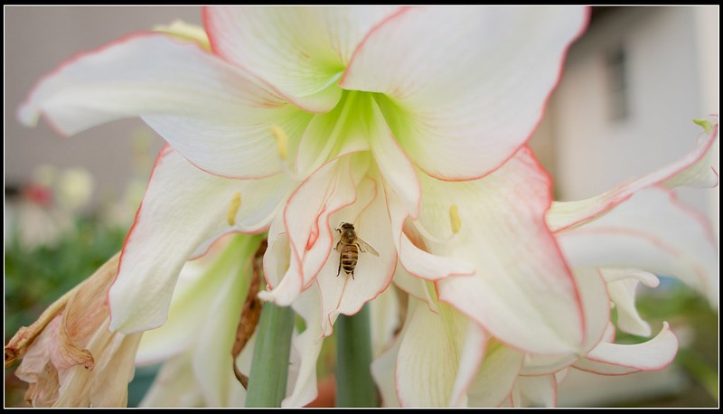 孤挺羅曼史HARLEQUIN上的蜜蜂-P4161550 (1)
