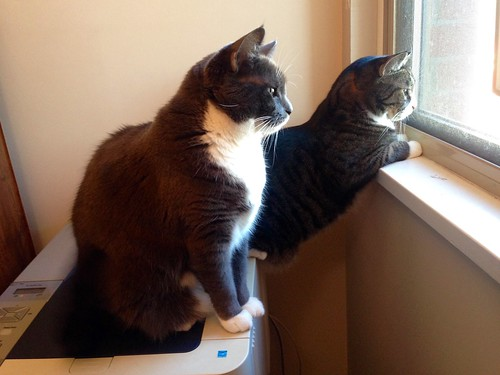 Cats watching pigeons on the neighbour's balcony