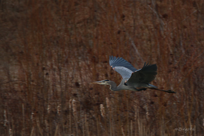 IMG_7838GreatBlueHeronInFlight
