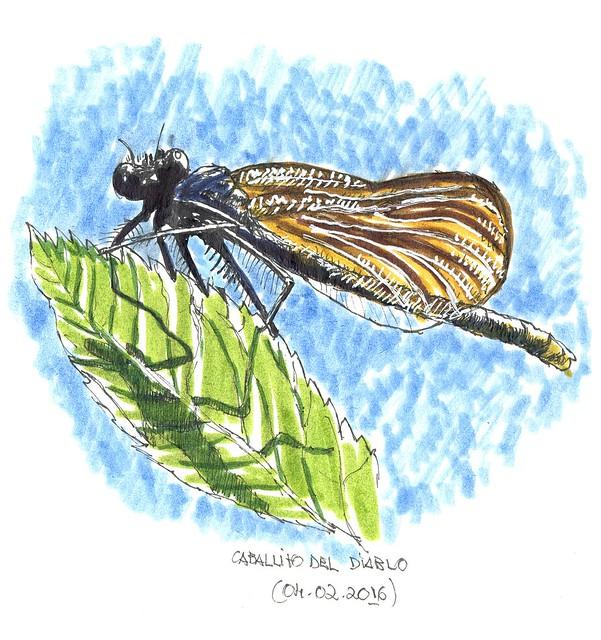 Caballito del diablo (Calopteryx xanthostoma)