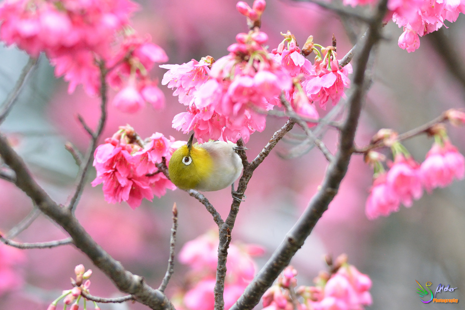 Sakura_White-eye_5830