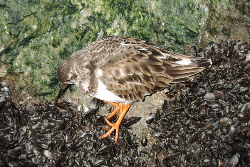 Ruddy Turnstone #68 Lifer #149