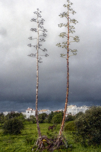 Portugal - Algarve - Portimao - Ass between two century plants