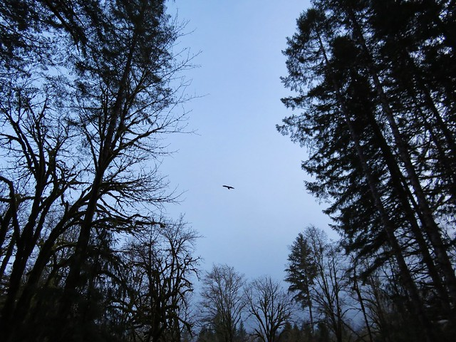 Bald Eagle flying over Whittaker Creek