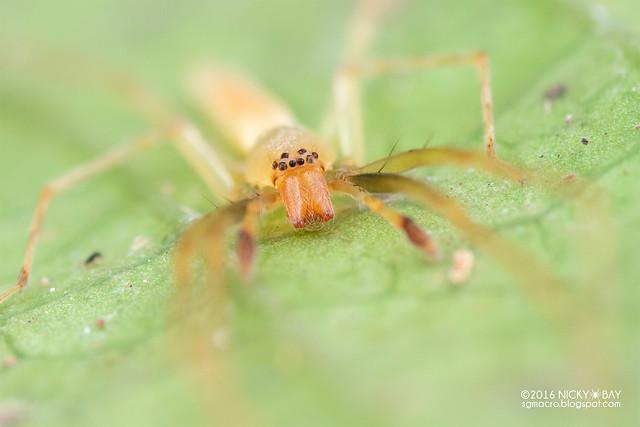 Sac spider (Clubionidae) - DSC_6616
