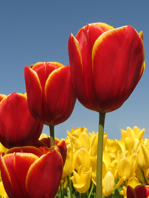 Red and yellow tulips in La Conner's Tulip Town