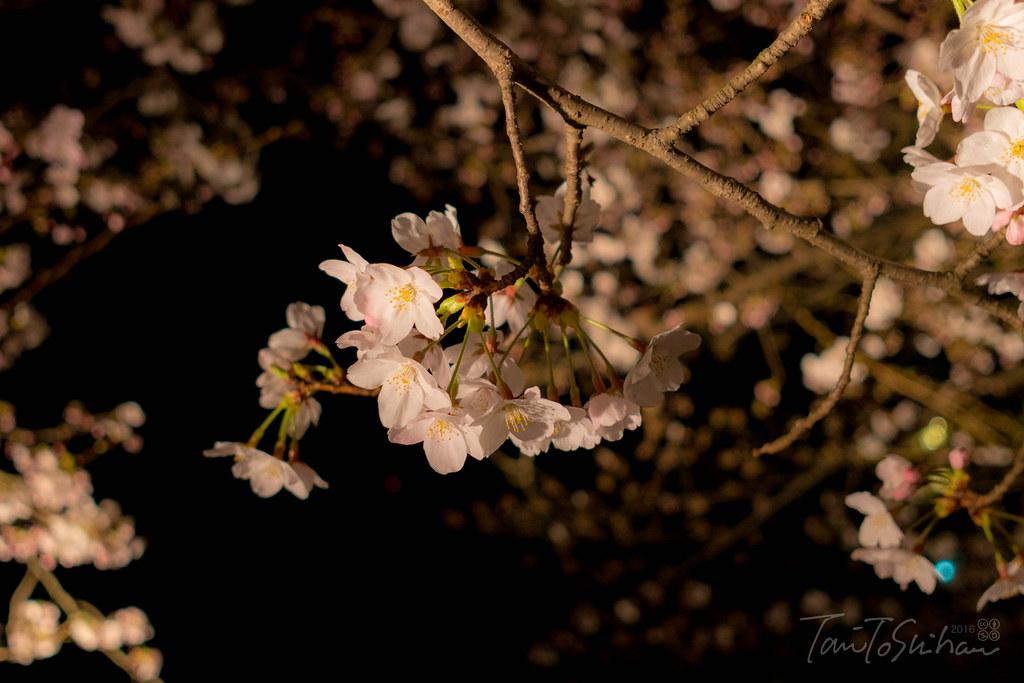縮景園夜桜特別開園2016