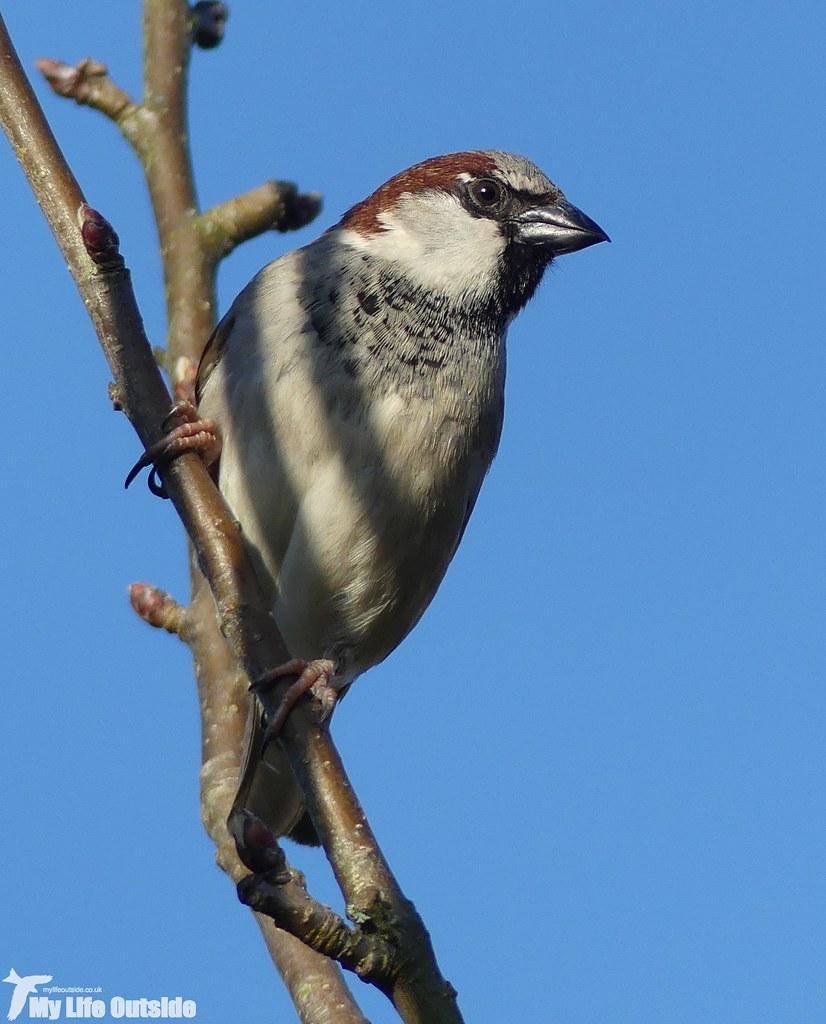 P1000767 - House Sparrow