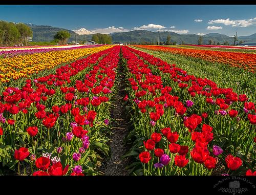 Abbotsford Tulip Festival near Vancouver, BC, Canada