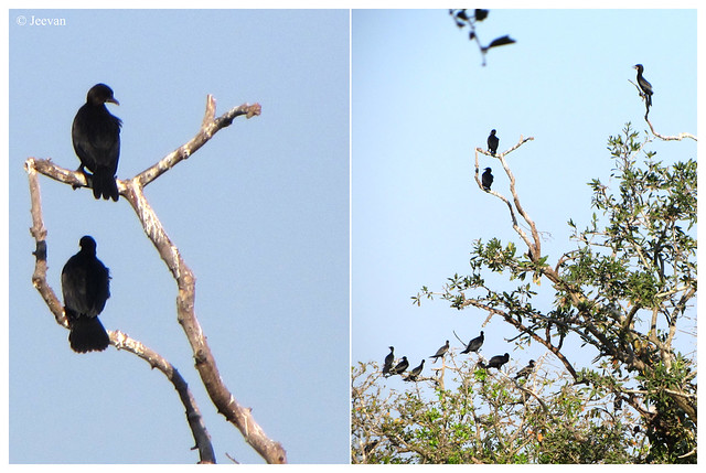 Little Cormorants @ Vedanthangal Bird Sanctuary