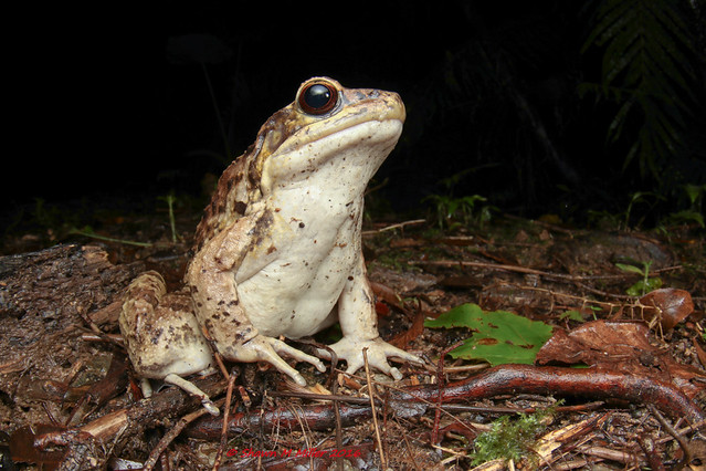 The King of Yanbaru! Holst's Frog