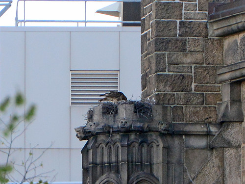 Cathedral Hawk Nest - 7264