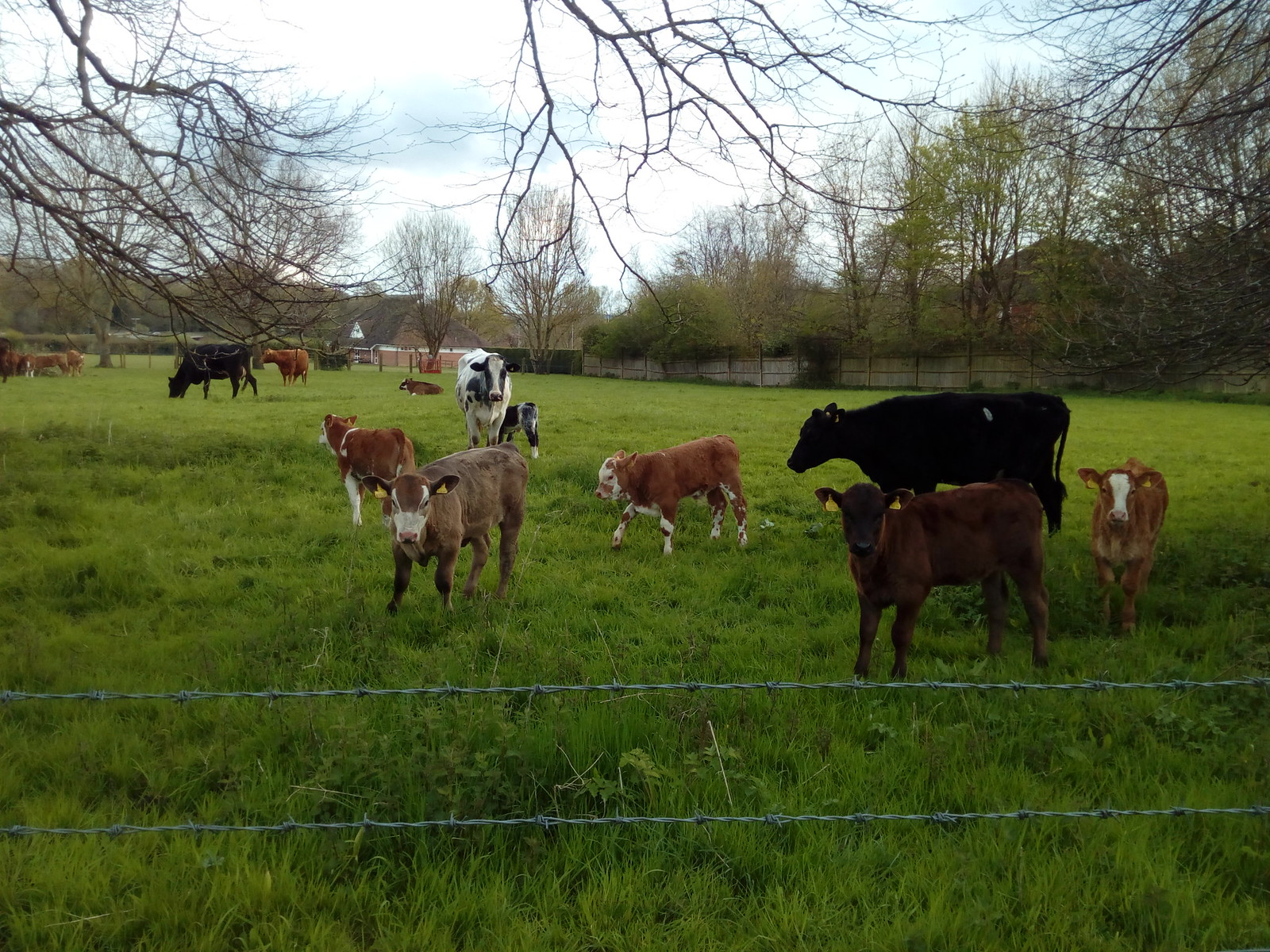 Curious Chilham calves
