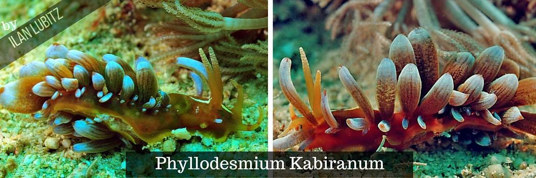 phyllodesmium kabiranum