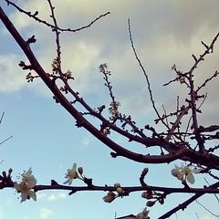 Ciliegi in fiore. Ed è già primavera!