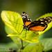 PTERONYMIA NOTILLA by PHOTOGRAPHY|bydamanti