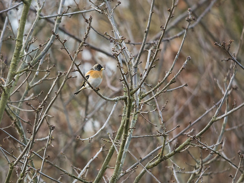 Brambling, Sandy Heath, 10th January 2016