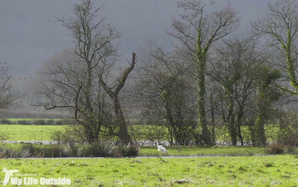 P1000237 - Great White Egret, Dinefwr