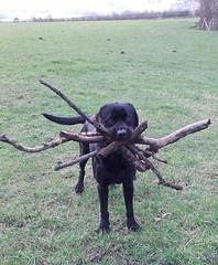 dog with sticks