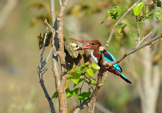 Kingfisher with cricket