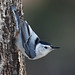 White-breasted Nuthatch by asparks306